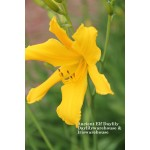 Ancient Elf Daylily