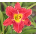 Assyrian Chariot Daylily