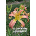 Banshee Whisper Daylily