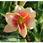 Beloved Deceiver Daylily