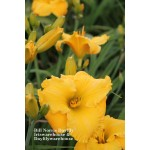 Bill Norris Daylily