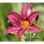 Blueberry Trumpet Daylily