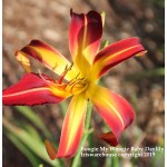 Boogie My Woogie Daylily