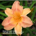 Brand New Lover Daylily
