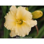 Brookwood Carved Ivory Daylily