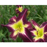Cameroon Night Daylily