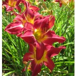 Carmine Monarch Daylily