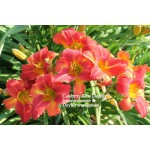 Celebrity Elite Daylily