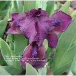 Cherry 'Garden Iris