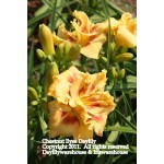 Chestnut Eyes Daylily