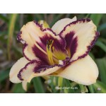 Chief of Staff Daylily