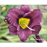 Cinderellas Dark Side Daylily