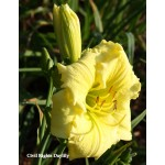 Civil Rights Daylily