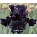 Coal Seams Iris