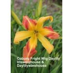 Coburg Fright Wig Daylily