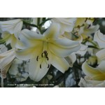 Conca d or Oriental trumpet lily 2 bulbs