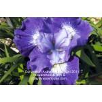 Coronation Anthem Siberian Iris