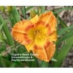 Cupids Heart Daylily