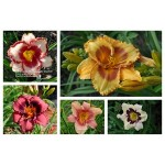 Daylily Variety or Color Special