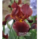 Distant Fire Iris