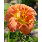 Double Dipper Daylily