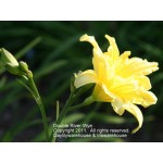 Double River Wye Daylily
