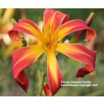 Droopy Drawers Daylily