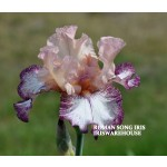 Roman Song Iris