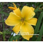Full Reward Daylily