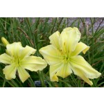 Give Me Eight Daylily