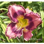God Save The Queen Daylily