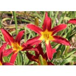 Holly Dancer Daylily