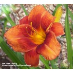 Hot Town Daylily