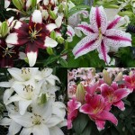 Lily Multipacks