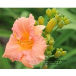 Little Rosy Cloud Daylily