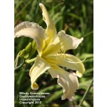 Milady Greensleeves Daylily