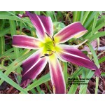 Morphin Time Daylily