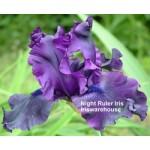 Night Ruler Iris