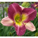 Old King Cole Daylily