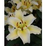 Oriental Trumpet lily Conca dor