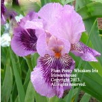 Plum Pretty Whiskers Iris