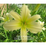 Radiant Moombeam Daylily
