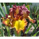 Red Hot Chili Iris