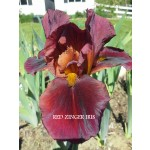 Red Zinger Iris