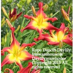 Rope Dancer Daylily