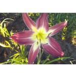 Carolispider Daylily
