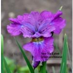 See Ya Later Siberian Iris