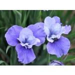 Shall We Dance Siberian Iris