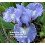 Snitch Iris
