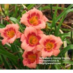 Strawberry Candy Daylily